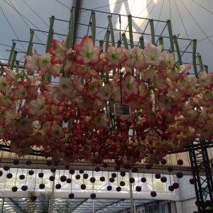 Hanging  Amarylis